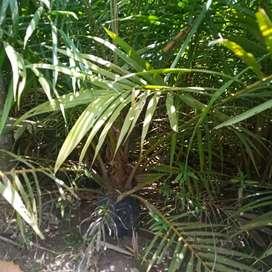 Bibit kelapa sawit umur 1thn sampai  lebih