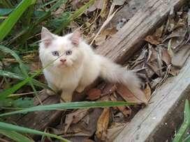 Kucing full Persia long hair