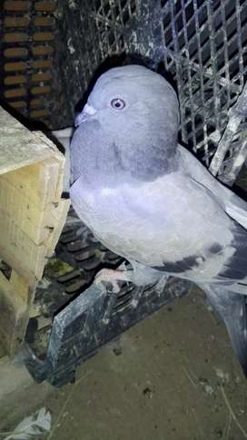 Sale for pigeon