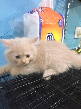 kucing persia bulu tebal