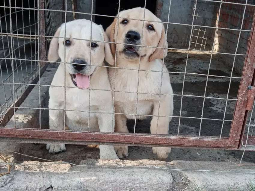 Labrador puppy pategre Chmpiyan blid line 70 day's