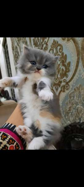 Pure persian doll face male kitten