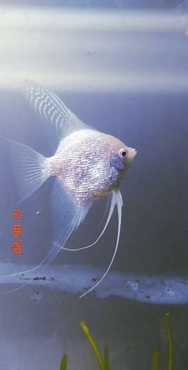 Platinum Angelfish For Sale ONLY ONE