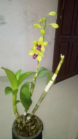 Tailand Imported Orchid for sale