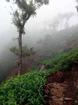 Tea Estate for Sale Six Acres cheap Rate Ten Lacks Per Acre