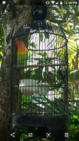 Jual Lovebird sepasang FS gacor/ keduanya, jinak, muda, sehat,  Nego