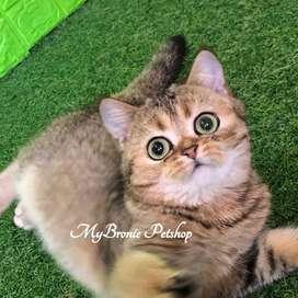 Kucing british shorthair female golden import pediree
