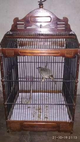 Burung kapas tembak jinak