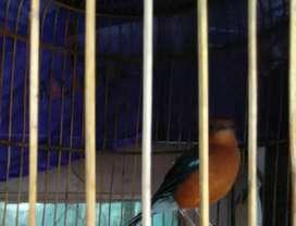 Burung anis bata /merah wikplong