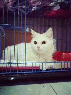 Kucing persia BU