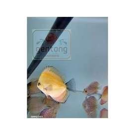 Ikan Hias Discus Golden Marlboro