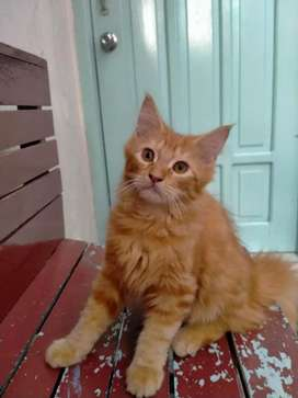 Kucing mainecoon maine coon persia