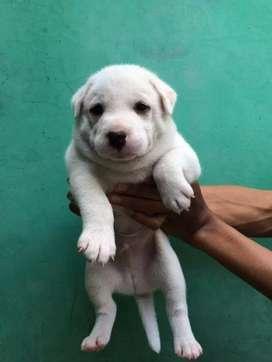 Puppy golden mix husky 1'5bln