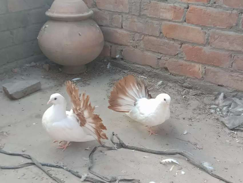 Red tail patte available 0