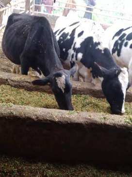 2 cows for sale