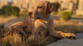 Labrador male available  Labrador male available  eag 5 month for sale