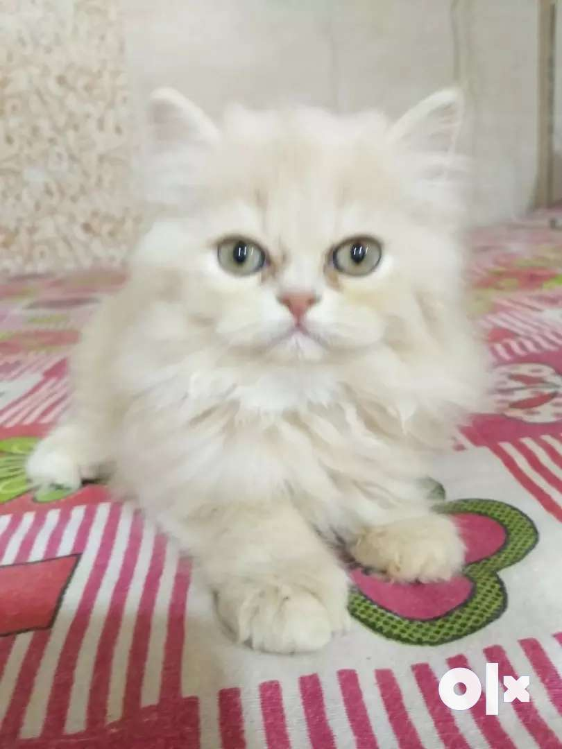 Kittens for sale 0
