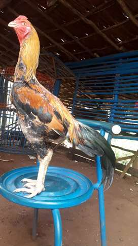 Ayam bangkok silangan mangun