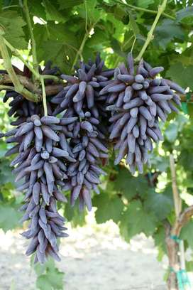 Teardrop/Witch Fingers Grapes Plant