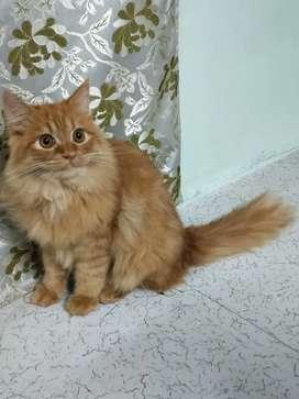Greay Female Persian Kitten