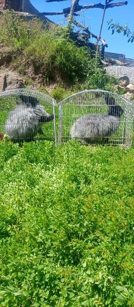 Giant angora breeder pair at very reasonable price,cage available,,