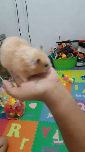 Jual hamster syrian