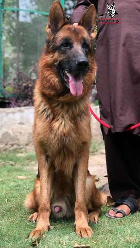 Non-Pedigree Show class German Shepherd adult male