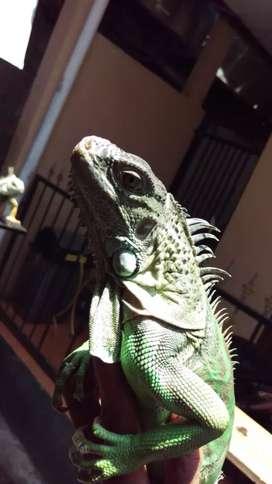 Iguana colom mix jantan