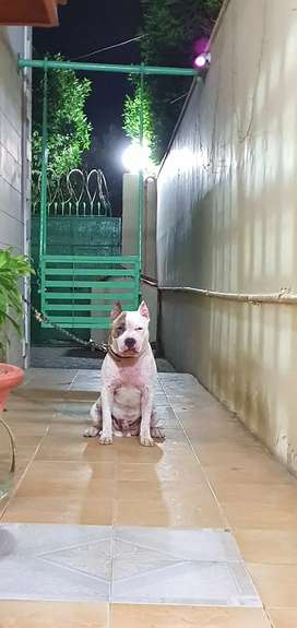 Male American Bully puppy