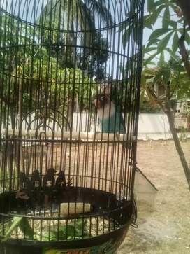 Jual Lovebird Pasbir
