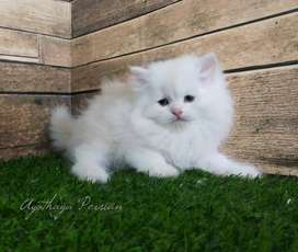 BEST PRICE KITTEN SALE CASH ON DELIVERY