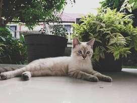 Lepas Adopsi Kucing Siam 8 Bulan