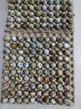 Jual telur puyuh