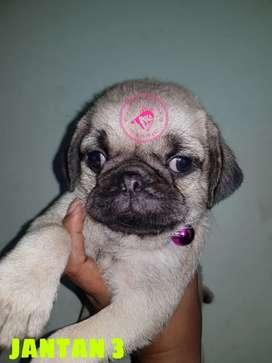 Anjing PUG Jantan