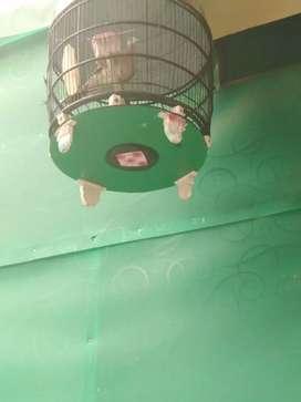 Burung perkutut bangkok suara besar rajin