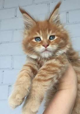 WE PROVIDE PURE BREED OF BOMBAY,MAINECOON,PERSIANS OF ALL TYPES,BENGAL