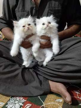 Pure Persian kittens white in colour for sale