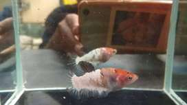 Ikan cupang betina fccp