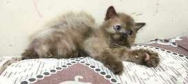 Kucing Kitten Persia - Himalaya bulu tebal