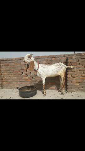 Goat Mahki Cheeni Bakri with 1 Female Path(5 sa 6) mah