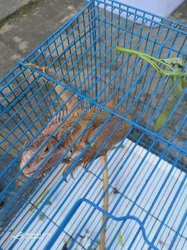 Red iguana het columb