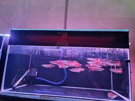 IKAN ARWANA SUPER RED 13-14cm
