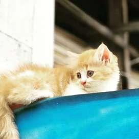 Kucing kitten persia