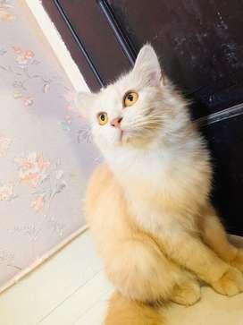 dDijual Kucing Persia Cewek warna Putih Kecoklatan + Kandang Kucing