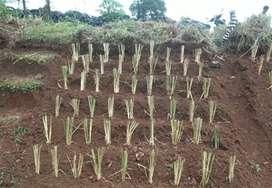 Jual Tanaman Vetiver Penahan Erosi Dan longsor Tanah
