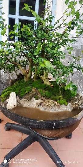 Bonsai serut grouping