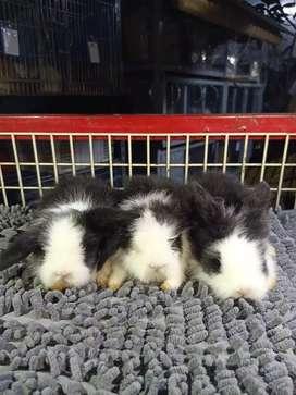 Kelinci Fuzzy lop JR