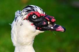 Muscovy duck chicks 3 months old chicks for sale 3000 pair