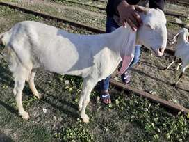 Rajanpuri bakri for sell lahore