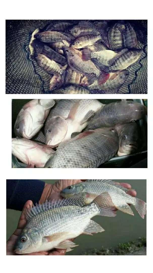 Ikan nila segar 0